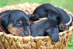The Miniature Pinscher puppies. 1 months old Royalty Free Stock Photography