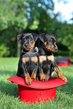 The Miniature Pinscher puppies. 1,5 months old Royalty Free Stock Image