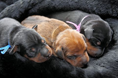 Miniature Pinscher puppies. The Miniature Pinscher puppies, 5 days old Royalty Free Stock Images