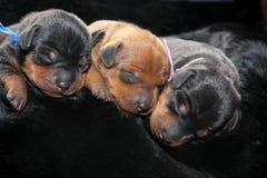 Miniature Pinscher puppies Stock Images