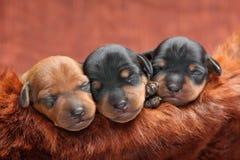 Miniature Pinscher puppies. The Miniature Pinscher puppies, 5 days old Stock Image
