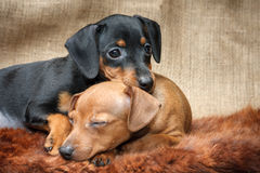 Miniature Pinscher puppies Stock Photo