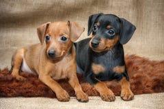 Miniature Pinscher puppies royalty free stock photos