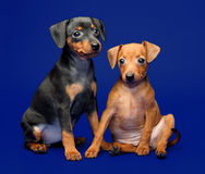 Miniature Pinscher puppies Stock Images