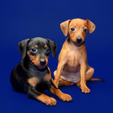 Miniature Pinscher puppies Royalty Free Stock Images
