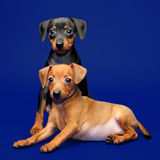 Miniature Pinscher puppies Stock Photos