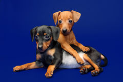Miniature Pinscher puppies Royalty Free Stock Image