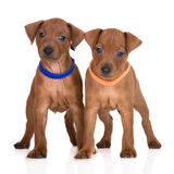 Miniature pinscher puppies on white Royalty Free Stock Image