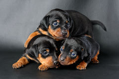 Miniature Pinscher Puppy. The Miniature Pinscher puppy, 3 weeks old, lying in front of black background Royalty Free Stock Photos