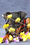 Miniature Pinscher Puppy Stock Photography