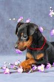 Miniature Pinscher Puppy. The Miniature Pinscher puppy, 2.5 months old Stock Images