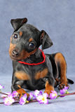 Miniature Pinscher Puppy Royalty Free Stock Photo