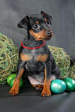 Miniature Pinscher Puppy Royalty Free Stock Photography