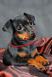 Miniature Pinscher Puppy Royalty Free Stock Image