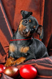 Miniature Pinscher Puppy Stock Image