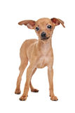 Miniature Pinscher puppy Stock Photo