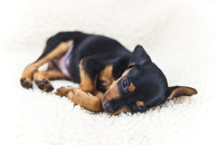 The Miniature Pinscher Puppy Stock Image