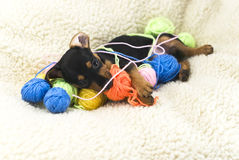 The Miniature Pinscher Puppy. Miniature Pinscher puppy lying on a white fluffy rug and playing with colored balls of wool, filmed in close-up stock photos