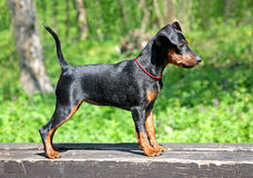 Free Miniature Pinscher Puppy Royalty Free Stock Image - 24776546