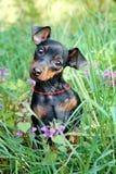Miniature Pinscher puppy Stock Photos