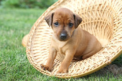 The Miniature Pinscher puppy Stock Photography