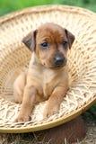 The Miniature Pinscher puppy Stock Photos
