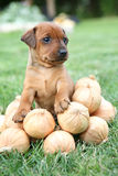 The Miniature Pinscher puppy Stock Photography