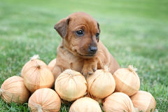 The Miniature Pinscher puppy Stock Images