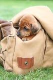 The Miniature Pinscher puppy Stock Images