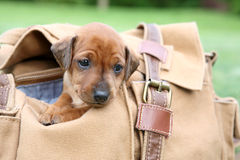 The Miniature Pinscher puppy Royalty Free Stock Images