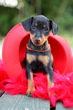 The Miniature Pinscher puppy. 1,5 months old Royalty Free Stock Images
