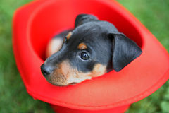 The Miniature Pinscher puppy Royalty Free Stock Photography