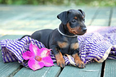 The Miniature Pinscher puppy. 1,5 months old Royalty Free Stock Photos