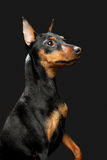 Miniature Pinscher puppy Royalty Free Stock Photos