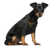 Miniature Pinscher puppy, 5 months old, sitting. In front of white background royalty free stock image