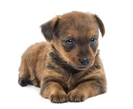 Miniature pinscher puppy (2 months) Royalty Free Stock Image