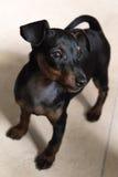 Miniature pinscher puppy Royalty Free Stock Photos
