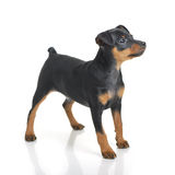 Miniature Pinscher. Puppy on white background royalty free stock photography