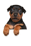 Miniature Pinscher puppy on white banner. German Miniature Pinscher puppy above banner isolated on white background Stock Photography