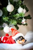 Miniature pinscher resting under Christmas tree. Miniature pinscher in red sweater with hat resting in fake snow under decorated christmas tree. Seasonal holiday royalty free stock images