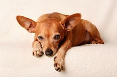 Miniature pinscher relax Stock Photography