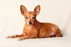 Miniature pinscher relax Royalty Free Stock Photos