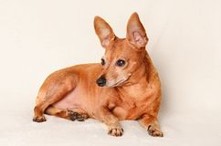 Miniature pinscher relax Royalty Free Stock Photo