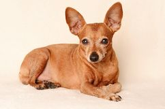 Miniature pinscher relax Royalty Free Stock Image