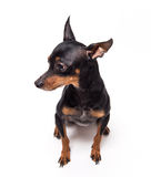 Miniature-pinscher sitting against white background Royalty Free Stock Photography