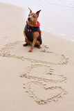 Miniature Pinscher. The Miniature Pinscher sitting on the sand by the sea Royalty Free Stock Photography