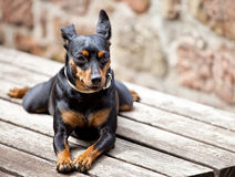 Miniature Pinscher sitting on a table Stock Photo