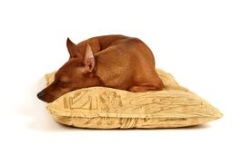 Miniature Pinscher sleeping on the pillow. Red Miniature Pinscher sleeps on the pillow Stock Images