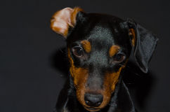 Miniature Pinscher Stock Photos