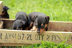 Miniature Pinscher. It is a small dog short hair, smooth a deft and nimble athletic cheerful no more than one foot highHabits are not frightened or startled obey Stock Images